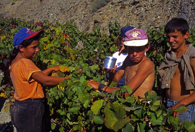 Portugese children picking grapes in the vineyards of Quinta do Noval |  Bild: ©  Adam Tinworth [CC BY-ND 2.0]  - flickrPortugese children picking grapes in the vineyards of Quinta do Noval