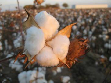 H&M: Konflikt-Baumwolle vermeiden – Importstopp aus Turkmenistan und Syrien