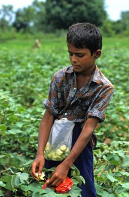 Kind bestäubt Baumwollpflanzen von Hand