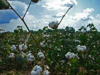Indien: Neue Baumwollsorte lässt Kinderarbeit ansteigen