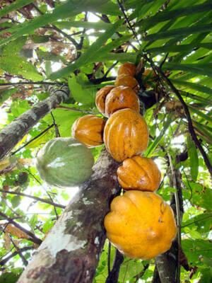 Gegen Kinderarbeit im ghanaischen Kakaoanbau