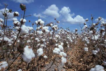 Indiens Baumwollpflücker