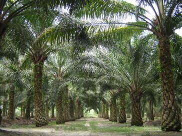 Indonesien: Filmaufnahmen zeigen Kinder bei Arbeit auf Palmölplantagen