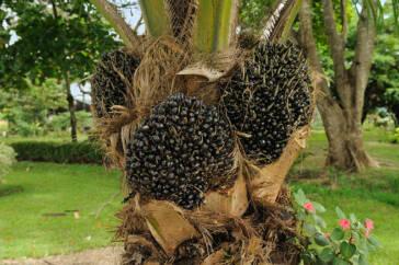 Aktueller Bericht: Indonesisches Palmöl und Kinderarbeit