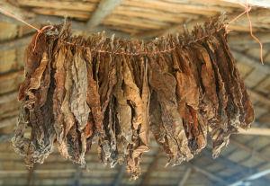 Hört die Kinderarbeit auf US-Tabakplantagen von Philip Morris nun endlich auf?