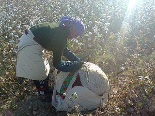 Immer noch müssen Kinder in Usbekistan auf den Baumwollfeldern arbeiten