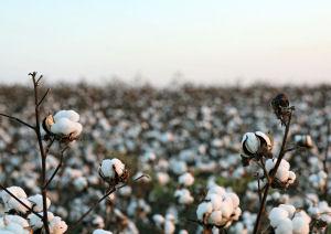 Kinder erneut zur Baumwollernte in Usbekistan gezwungen