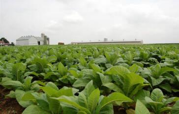 Amerikanische Tabakplantagen bald frei von Kinderarbeit?