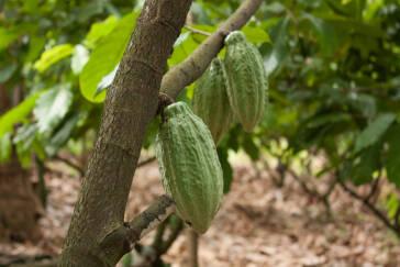 Kampf gegen Kinderarbeit im Kakaoanbau in der Elfenbeinküste