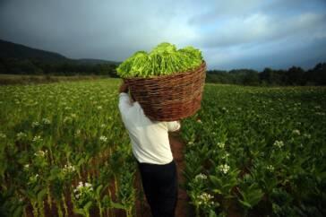 Brasilien macht es den USA vor: Verbot von Kinderarbeit in der Tabakproduktion