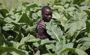Kinderarbeit auf einer Tabakplantage