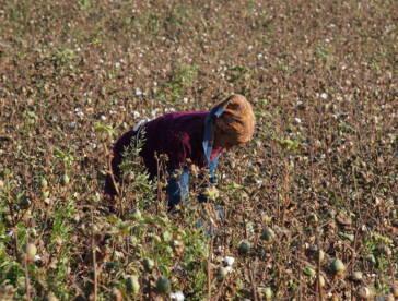 Baumwollfelder Usbekistan