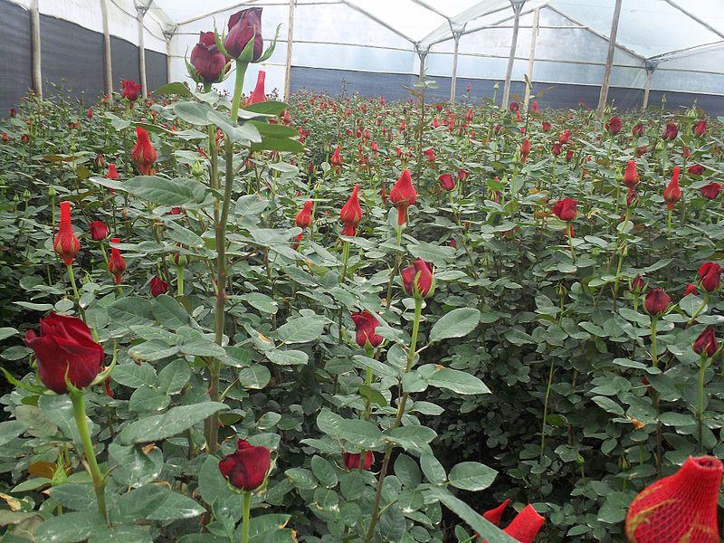Rosenplantage in Ecuador    Bild: © Myskoxen [CC0 1.0]  - Wikimedia CommonsRosenplantage in Ecuador