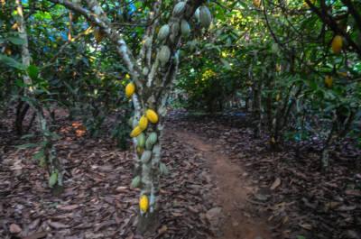 Verschleppung von Kindern Kakao Elfenbeinküste