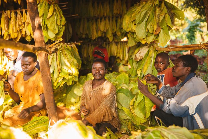 Tabakarbeiter in Malawi sitzen inmitten von Tabakblättern, die sie zum Trocknen vorbereiten.Arbeiter in Malawi bereiten Tabakblätter zum Trocknen vor.    Bild: Men Bundle Tobacco Leaves for Drying in Malawi © Mitchell Maher / International Food Policy Institute [CC BY-NC-ND 2.0]  - FlickrTabakarbeiter in Malawi sitzen inmitten von Tabakblättern, die sie zum Trocknen vorbereiten.