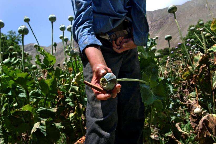 Das Versagen von Antidrogenmaßnahmen der USA führte zum jetzigen folgenreichen Opium-Boom. |  Bild: Poppy Fields in Afghanistan © UN Photo/UNODC/Zalmai [CC BY-NC-ND 2.0]  - United Nations Photo / Flickr